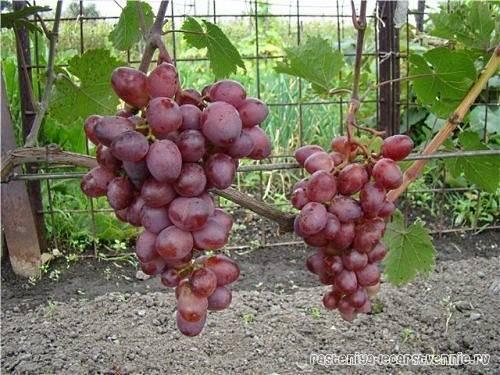 Минский розовый — виноград