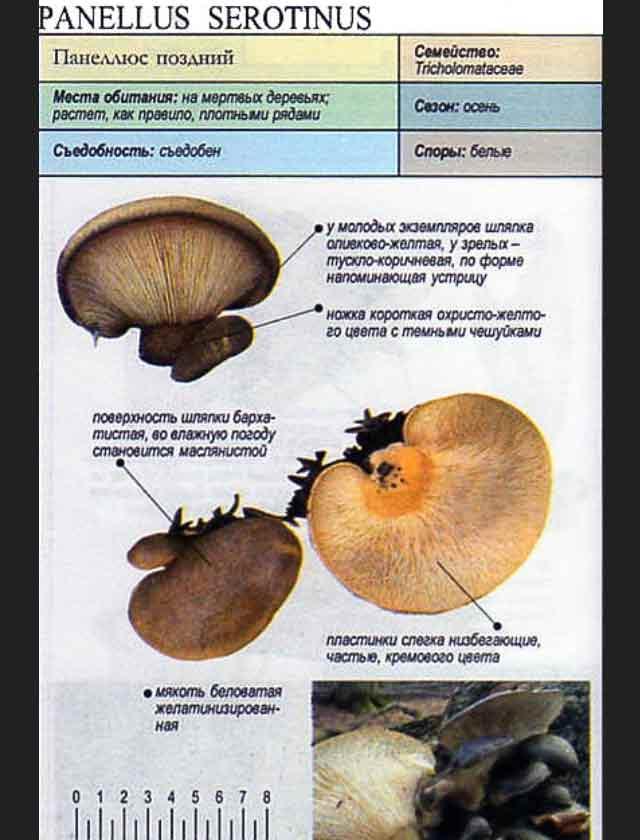 Болезни вешенки: фото и описание деформаций плодовых тел