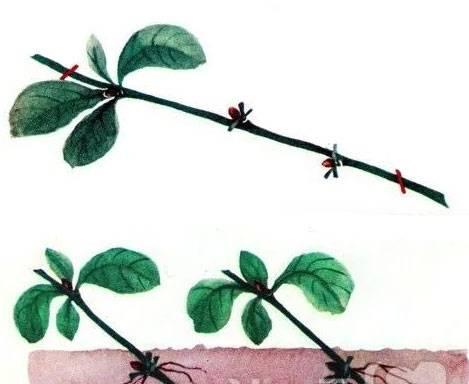 Ирга: посадка и уход, особенности выращивания