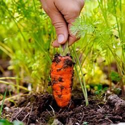 В каких удобрениях нуждается морковь при посадке и как внести подкормку? возможные ошибки
