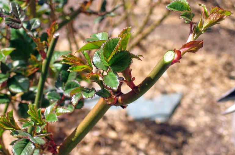 Как обрезать вьющуюся розу на зиму