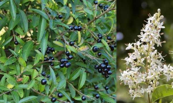 Бирючина обыкновенная: описание кустарника с фото, посадка и уход, особенности размножения