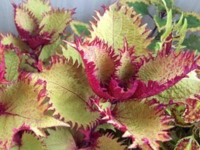 Колеус: уход в домашних условиях, выращивание из семян в саду, фото