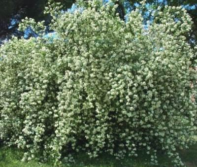 Садовый чубушник: сорта с фото и детальным описанием