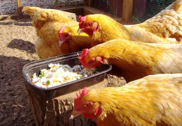 Чем кормить кур зимой чтобы несли яйца? полезные рекомендации