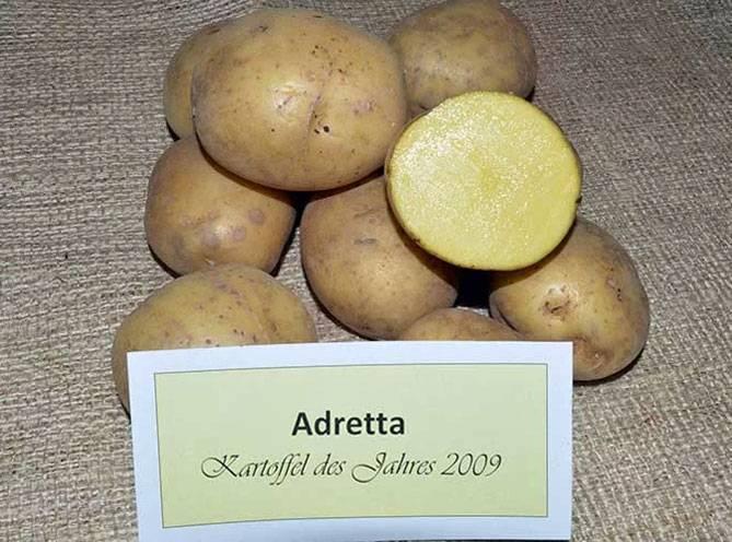 Картофель адретта: описание сорта, отзывы, характеристика