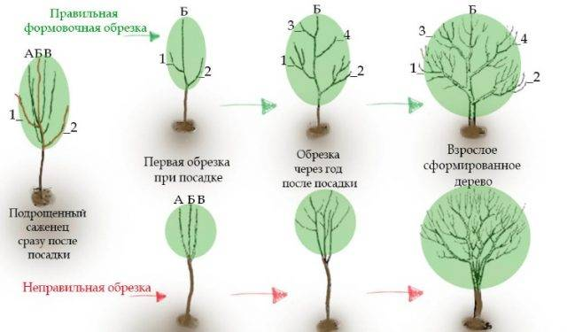 Груша гера описание сорта недостатки опылители отзывы садоводов