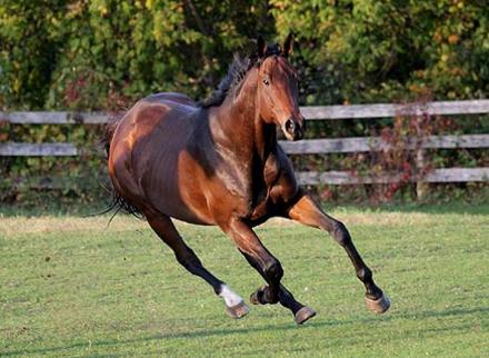 ᐉ английская чистокровная верховая лошадь: описание породы, разведение, достоинства и недостатки - zooon.ru