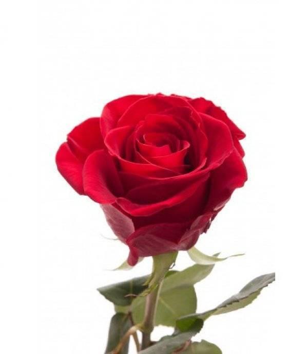 Как правильно посадить розу