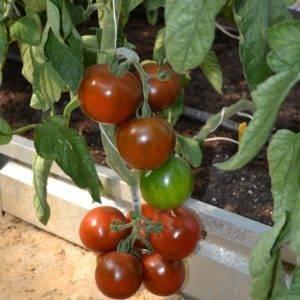 Сорт томатов виагра, описание, характеристика, фото и отзывы тех, кто сажал, а также особенности выращивания чёрных помидоров