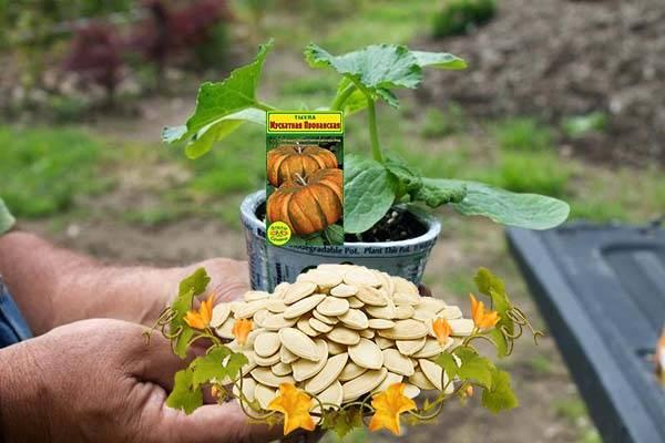 Посадка тыквы открытый грунт: интересное сортовое разнообразие овоща, уход, связь размеров и вкусовых качеств плода | спутниковые технологии