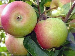 Колоновидные яблони: 14 лучших сортов и их особенности