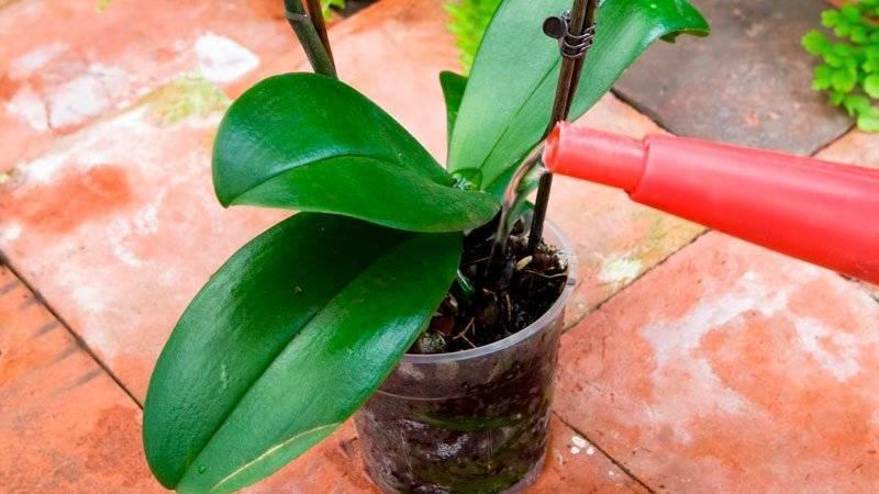 Как пересадить цветущую орхидею в домашних условиях, чтобы сохранить это состояние и как правильно ухаживать после этого: видео от специалистов