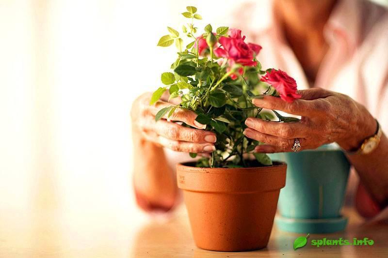 Правильный уход за мини-розами в горшочках в домашних условиях: виды карликовых культур, нюансы выращивания миниатюрных комнатных сортов, ошибки при их разведении selo.guru — интернет портал о сельском хозяйстве