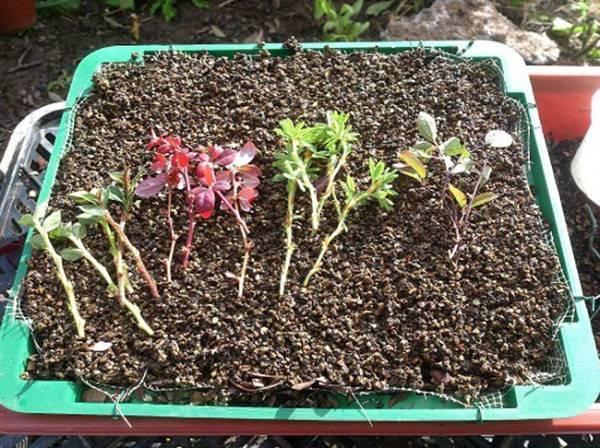 Размножение барбариса черенками, семенами, отводками или делением куста   огородники