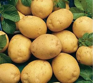 Картофель адретта: как выглядит на фото, а также общее описание сорта, характеристика его качеств, советы по обработке семян и рекомендации по выращиванию картошки