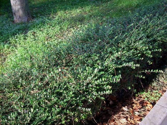 Жимолость - полезные свойства ягод, фото, посадка и уход