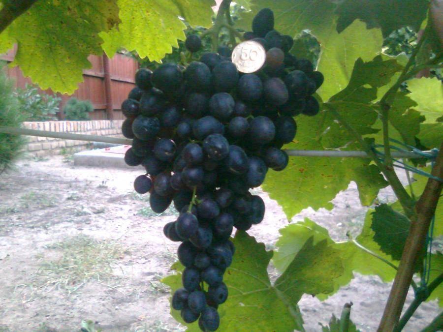 Виноград кишмиш черный потапенко: характеристики, описание сорта, фото, отзывы