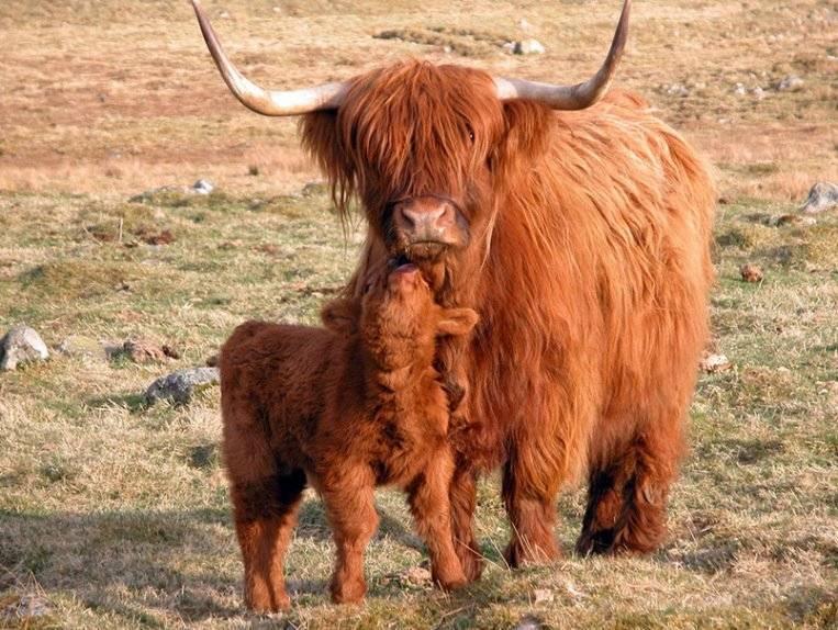 Голландская порода коров: характеристики, содержание и продуктивность