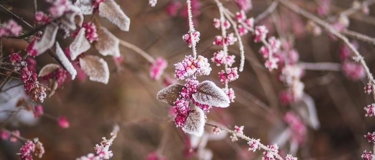 Как ухаживать за малиной осенью и правильно подготовить к зиме?