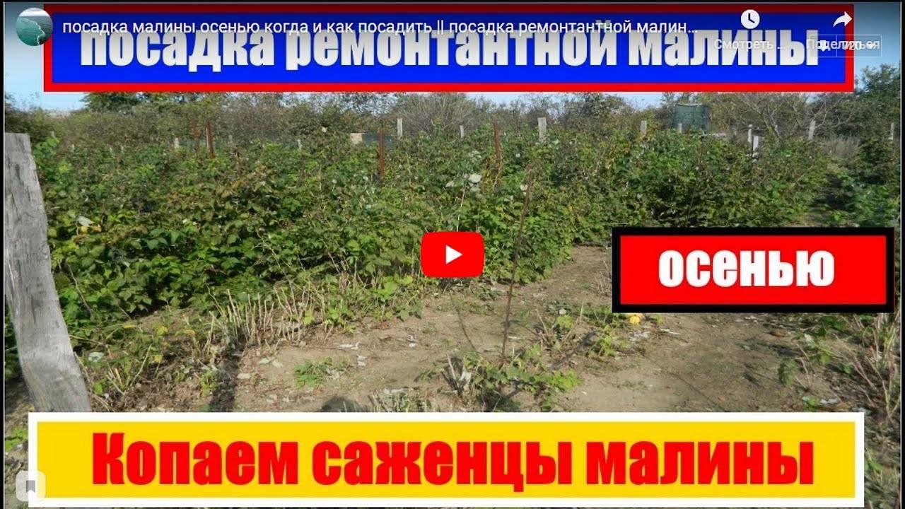 Посадка малины осенью — когда и как посадить саженцы