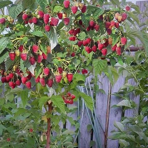 Малина таруса: чем отличается этот сорт малинового дерева, фото и описание растения