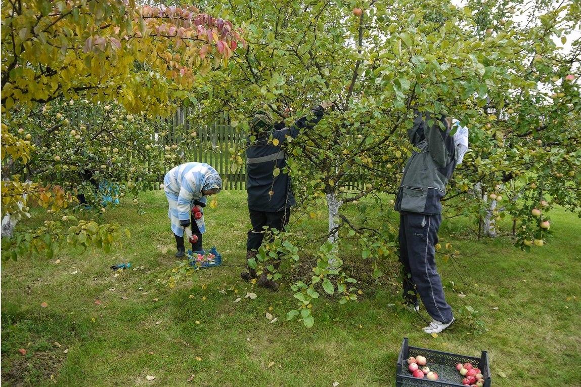 Всё о яблоне: какой сорт выбрать и как правильно вырастить