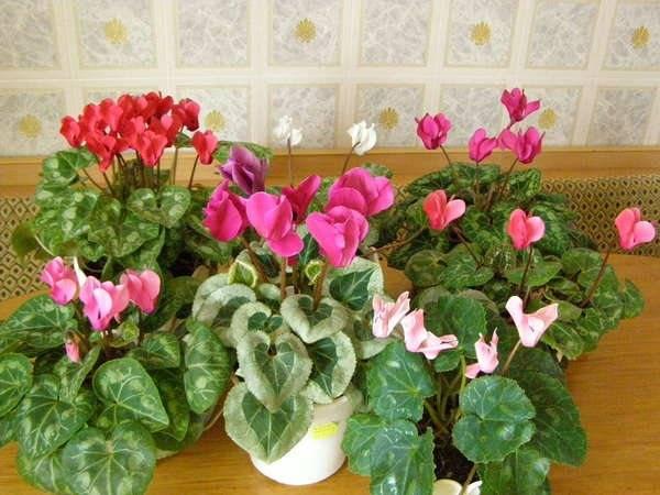 Как вырастить цикламен из семян в домашних условиях: где купить семена, чем их лучше обработать, как ухаживать