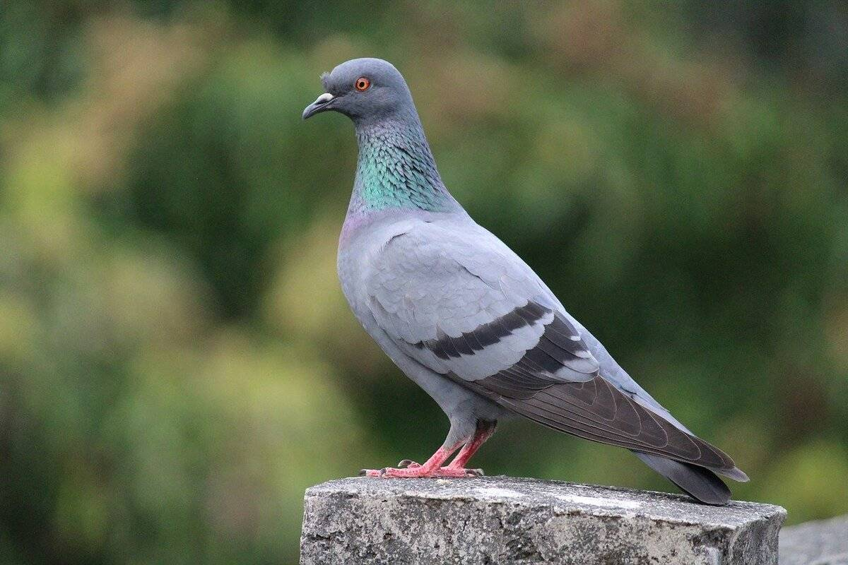 Оспа у голубей опасна для человека