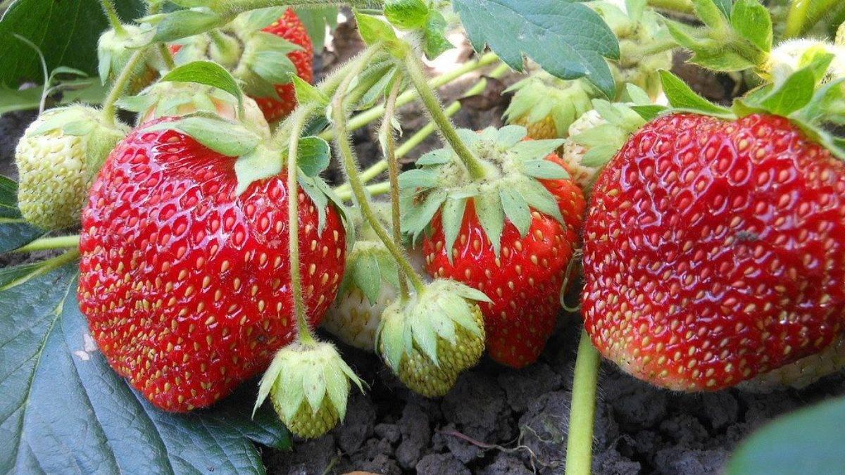 Клубника зефир: описание сорта, выращивание, фото и отзывы