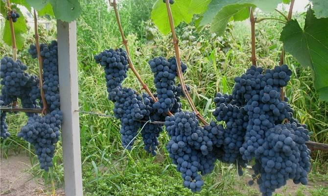 Сорт винограда саперави северный