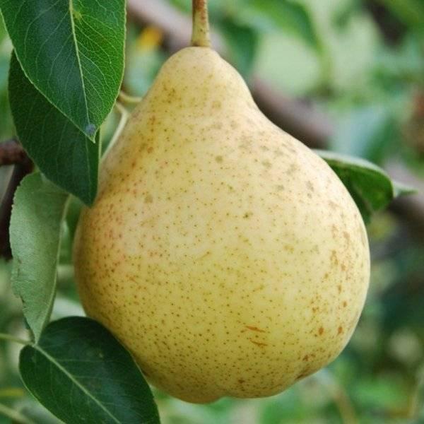 Сорта груш для краснодарского края: фото с названием и описанием