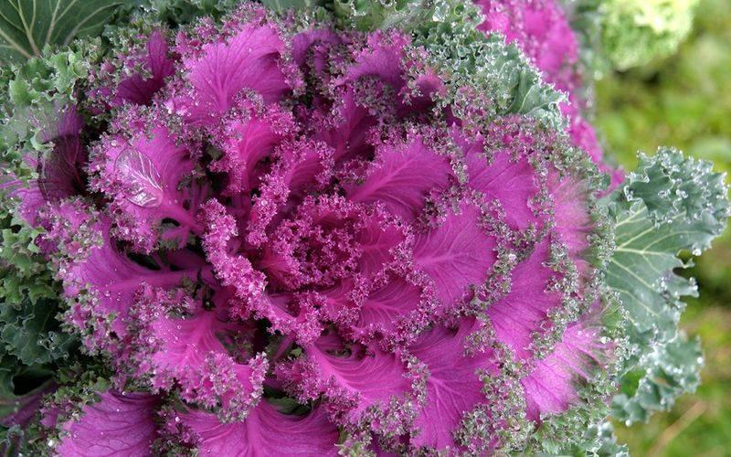 Многолетняя и однолетняя декоративная капуста: сорта с фото и названия видов