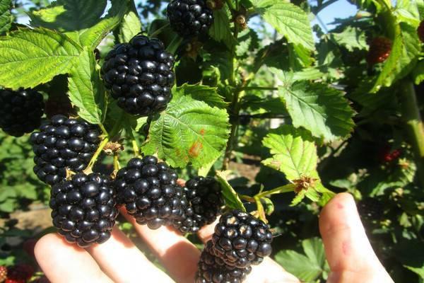 Сорт белой ежевики полар берри (polar berry): описание с фото, преимущества и недостатки, урожайность