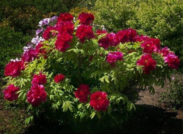 Пион древовидный (55 фото): выращивание в подмосковье, посадка и уход весной, осенью, бордовый, желтый, розовый, видео