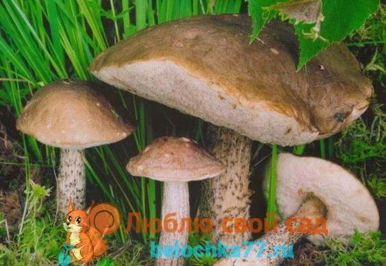 Съедобные грибы | белый гриб | рыжик | подберезовик | подосиновик