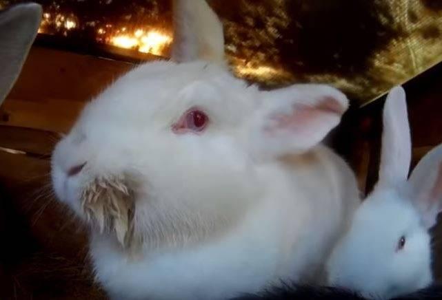 Инфекционный стоматит (мокрец, мокрая мордочка) у кроликов: причины, симптомы и лечение