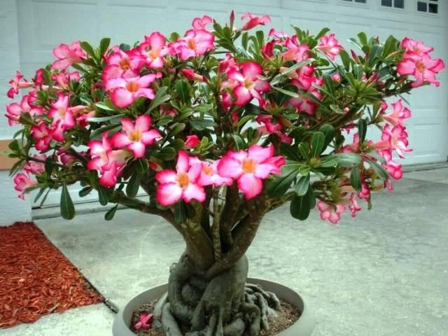 Адениум - описание видов и советы по уходу. размножение и выращивание адениума дома.