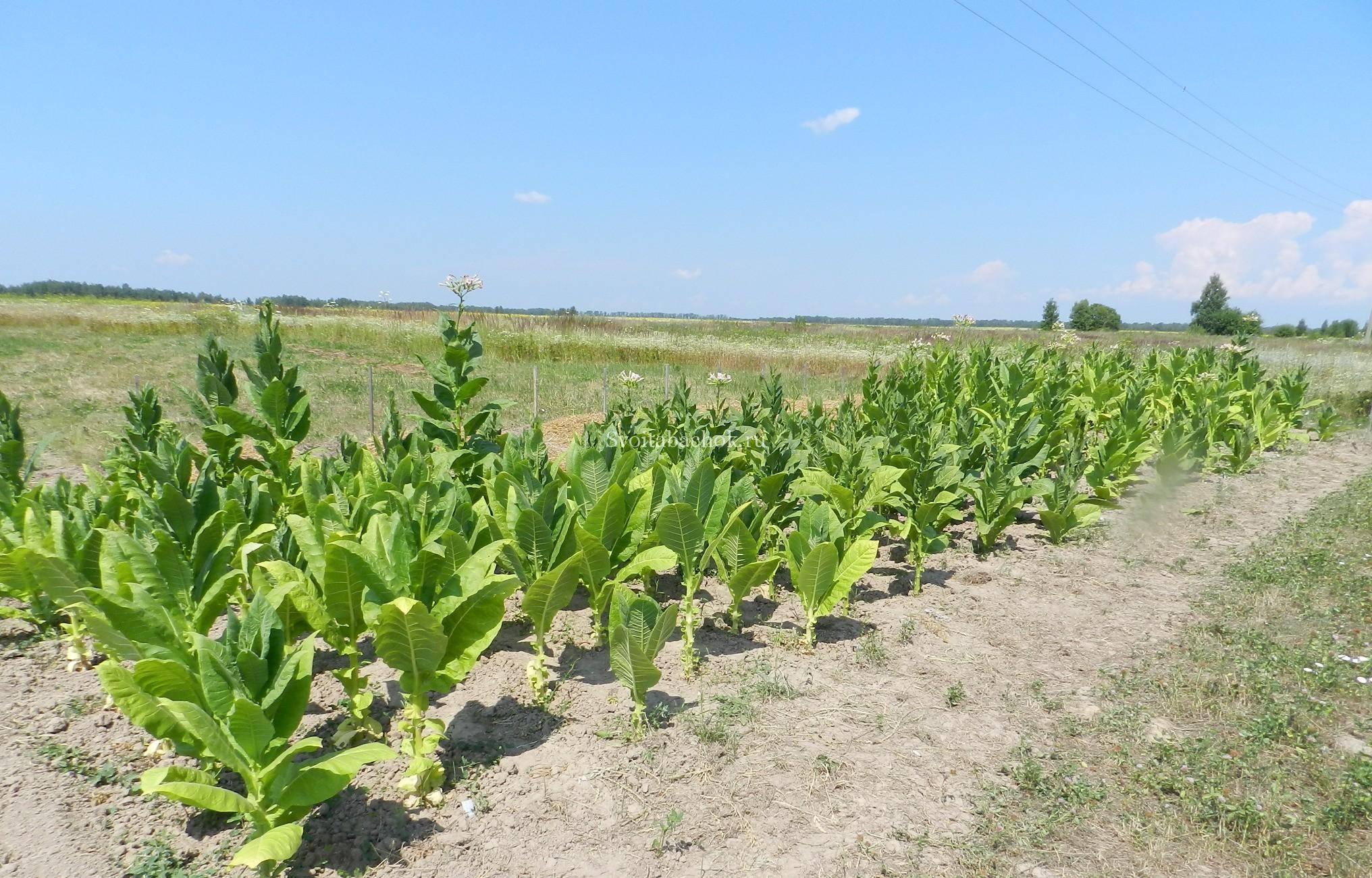 Курительный табак: уход и выращивание в домашних условиях, фото