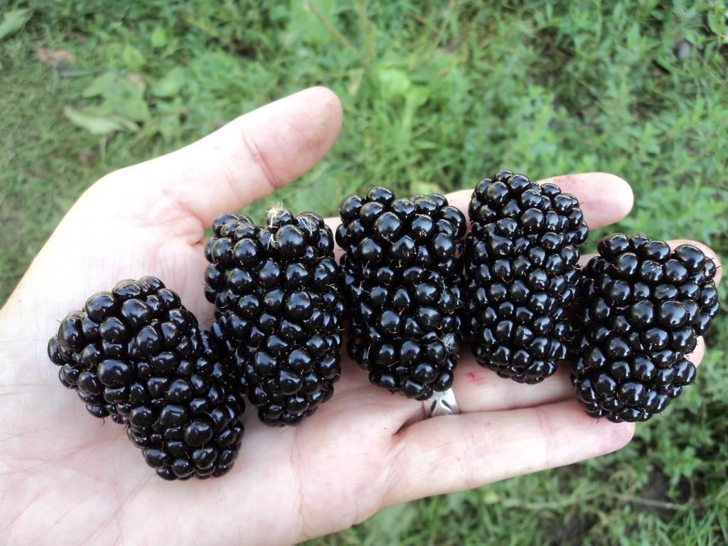 Ежевика натчез - описание, посадка, уход и выращивание сорта. 125 фото и видео советы