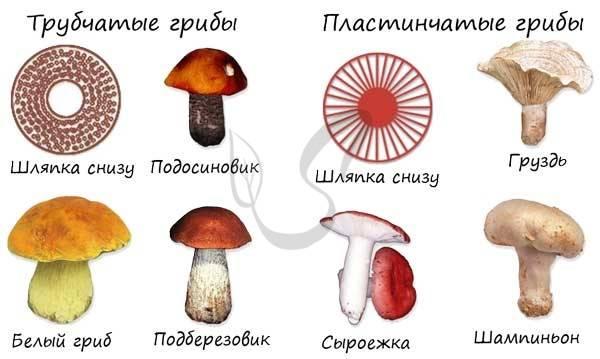 Общая характеристика царства грибы. отдел слизевики и отдел грибы