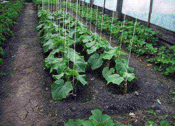 Выращивание огурцов в открытом грунте и в теплице