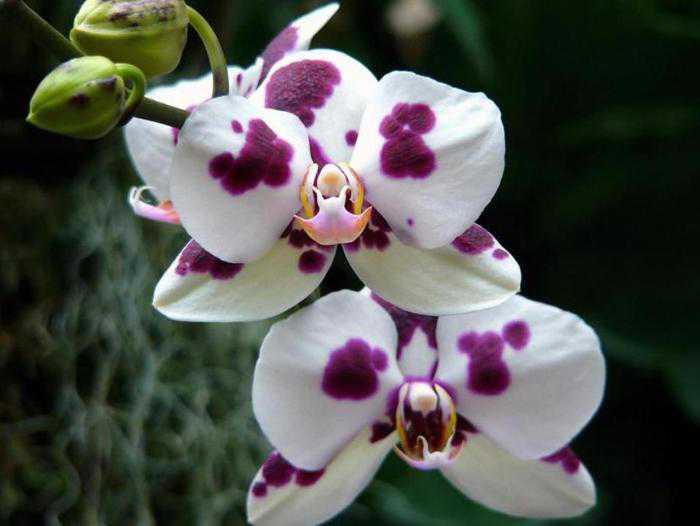Фаленопсисы в природе: фото орхидей, а также где и как растет это чудо, почему его так называют, чем дикие виды отличаются от культурных? русский фермер