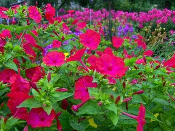 """Цветок """"мирабилис"""": описание, фото, посадка и уход"""