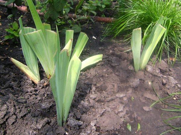 Когда сажать ирисы в открытый грунт - весной или осенью, как правильно ухаживать