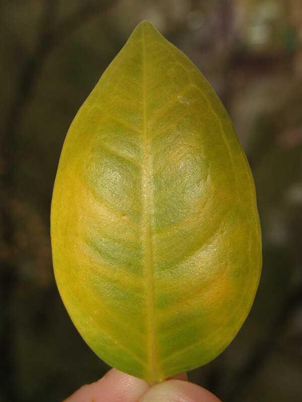 Почему фикус бенджамина сбрасывает листья и как с этим бороться?