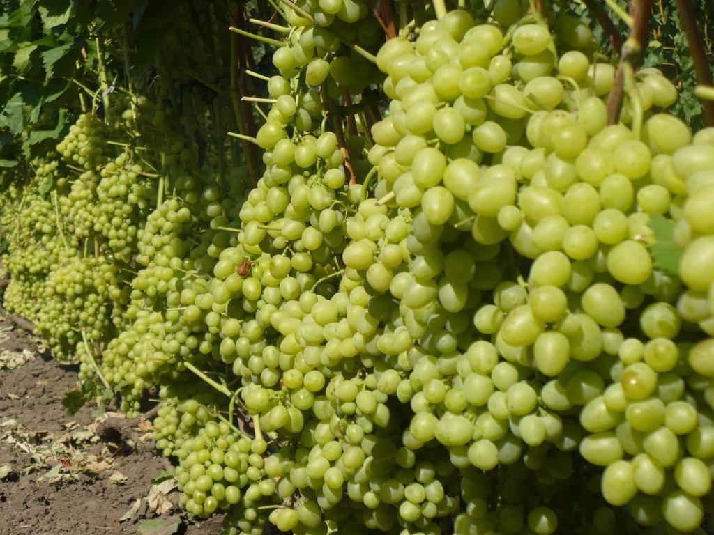 Особенности винограда сорта Настя