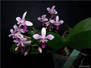Орхидея эквестрис: описание и уход с фото и видео