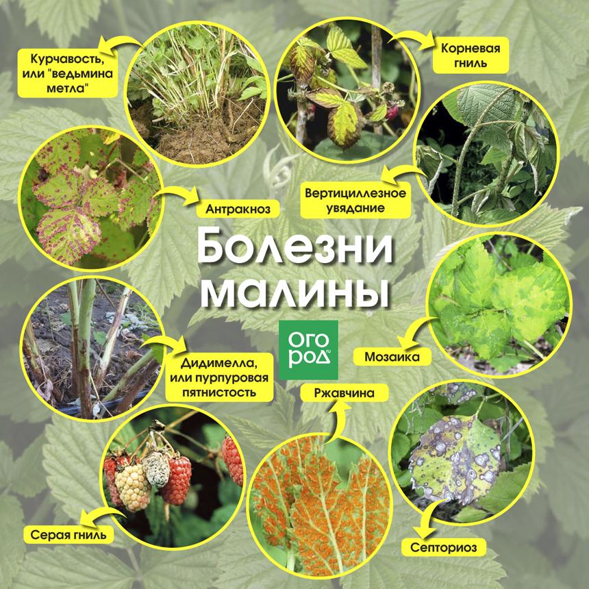 Обработка малины весной от болезней и вредителей: народные средства и химические препараты, отзывы