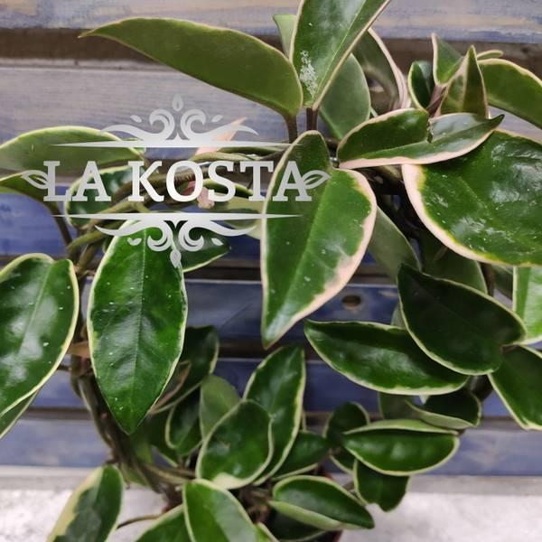 Популярные виды домашней лианы хойи макрофиллы: как вырастить и как ухаживать?